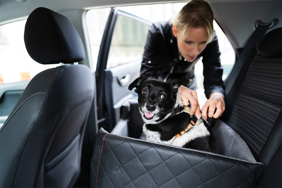 Dog being buckled into a pet car seat